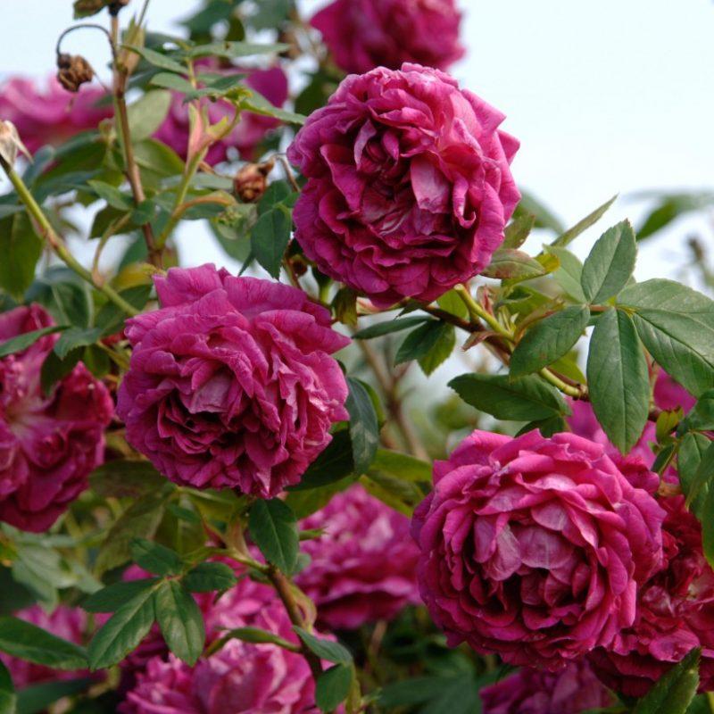 Amadis thornless roses