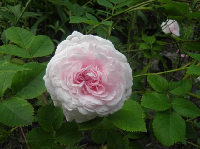 Chloris almost thornless roses