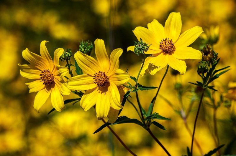 Coreopsis best flowers for full sun