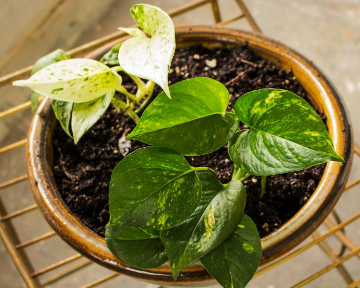 Caring for devil's ivy