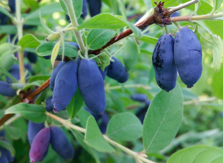 Honeyberry vine