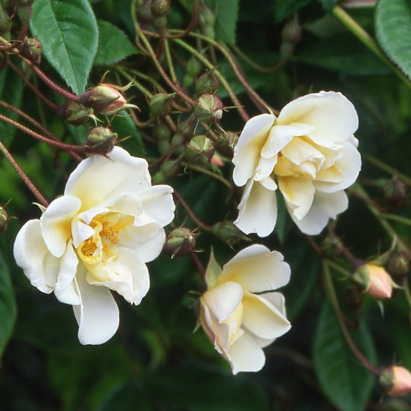 Lykkefund thornless roses
