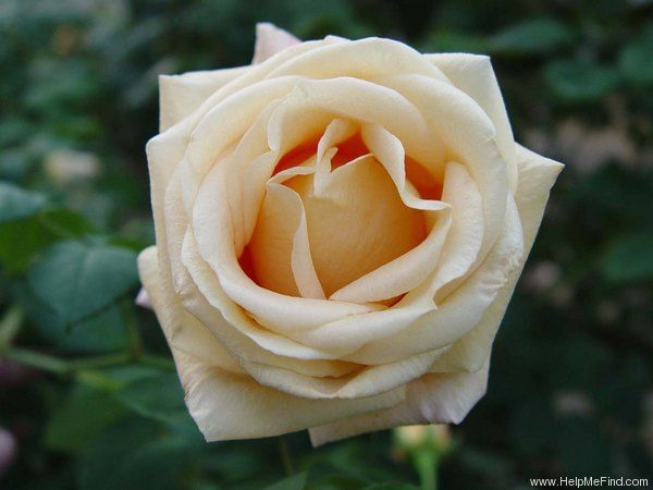Oceana Hybrid tea thornless roses