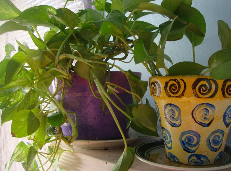 Devil's Ivy hanging planter
