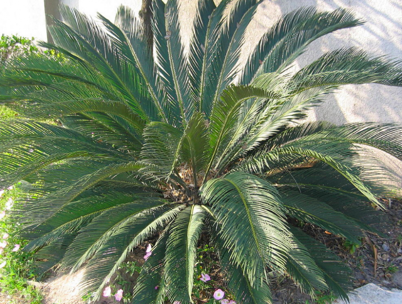 Sago palm outdoor care