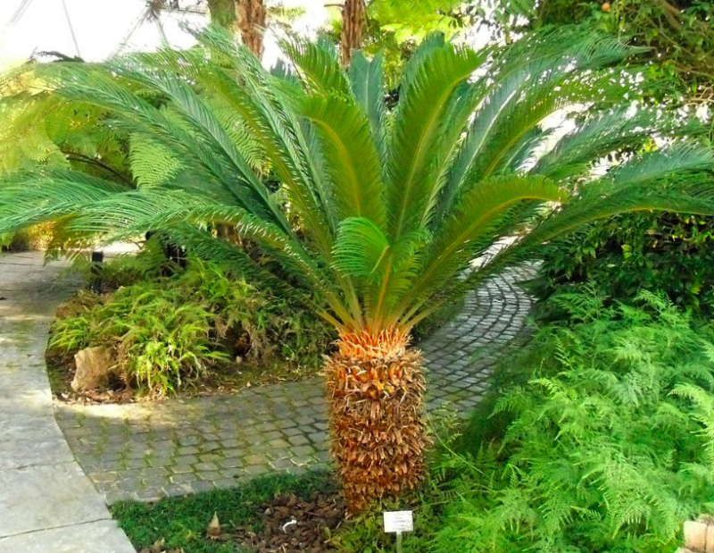 Sago palm outdoors