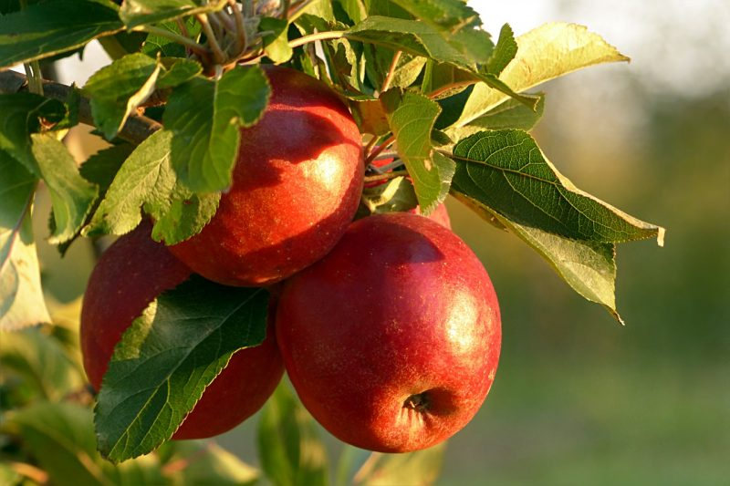 Apple container fruit trees