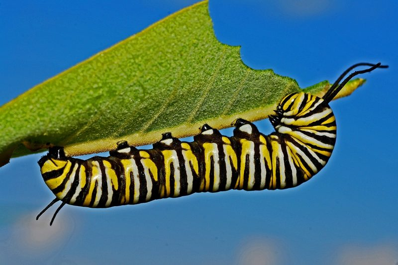 Caterpillars are common garden pests