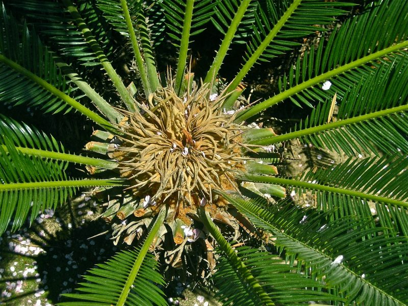 Central heart of the sago palm