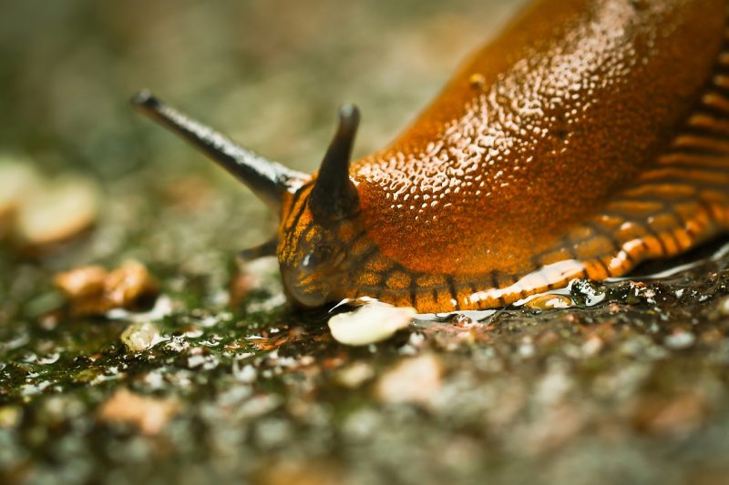 Slugs are awful garden pests