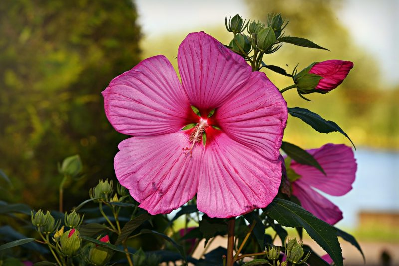 Hibiscus best flowers for full sun