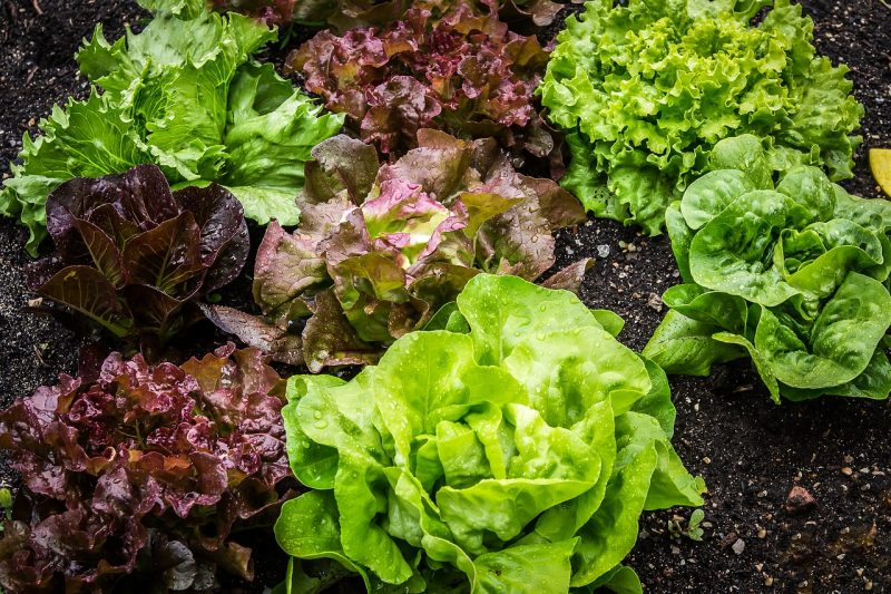 Varieties for growing lettuce indoors