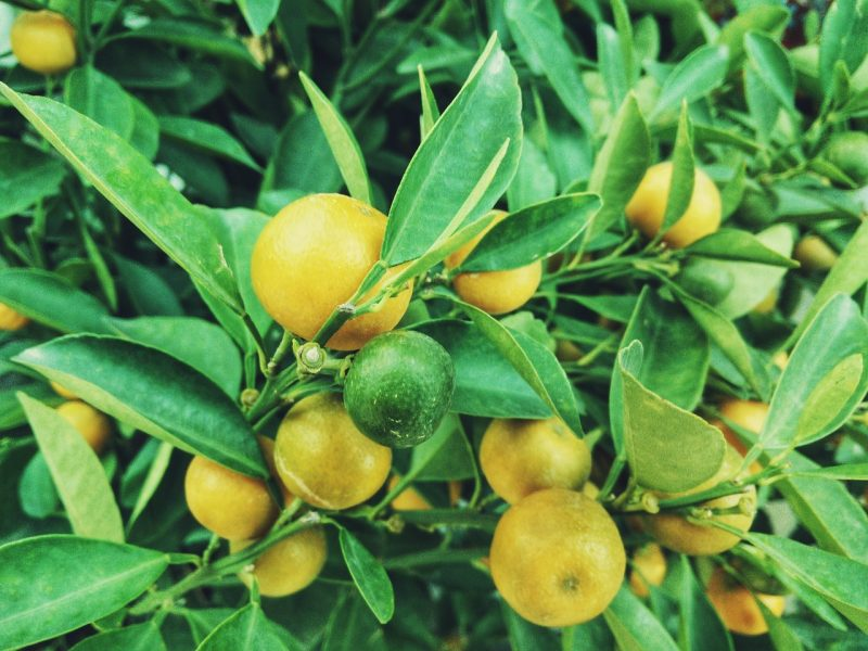 Lemon container fruit trees