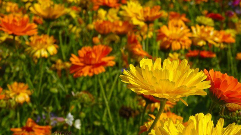 Marigolds best flowers for full sun