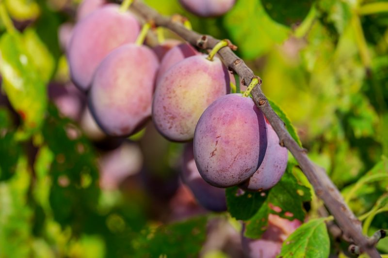 Plum container fruit trees
