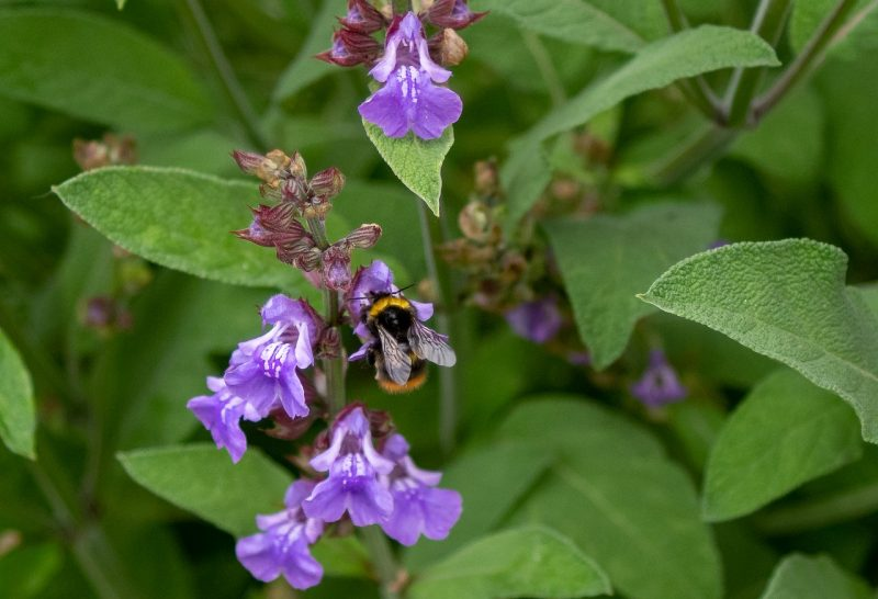 Cultivating your Salvia plant