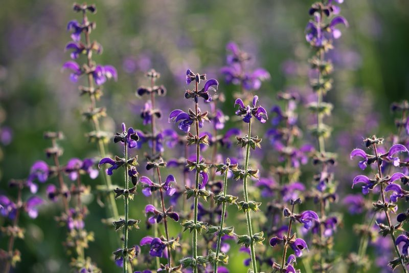 Purple sage plant