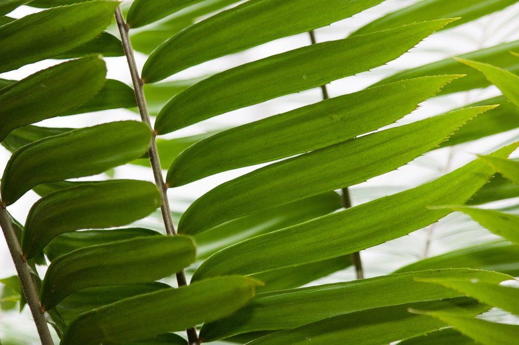 Zamia Cycad Leaves
