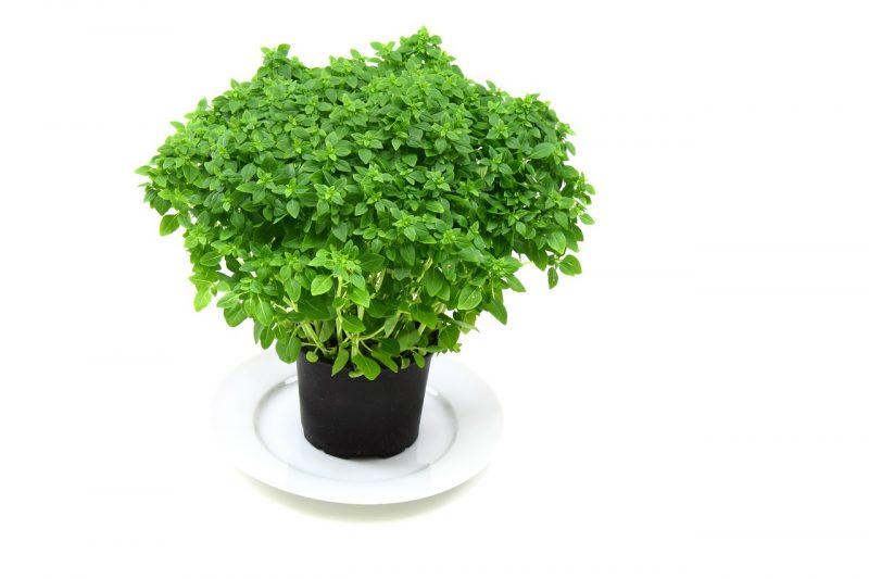 Pistou basil plants