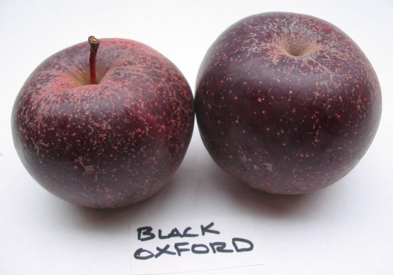 Black Oxford heirloom apples