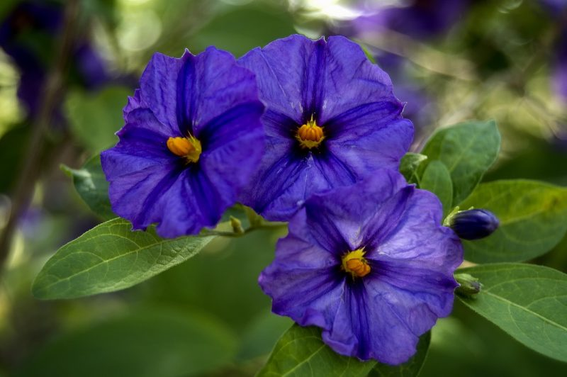 Browallia bush violets