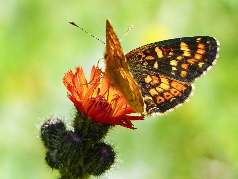 Butterfly garden plants like Asclepias tuberosa are ideal