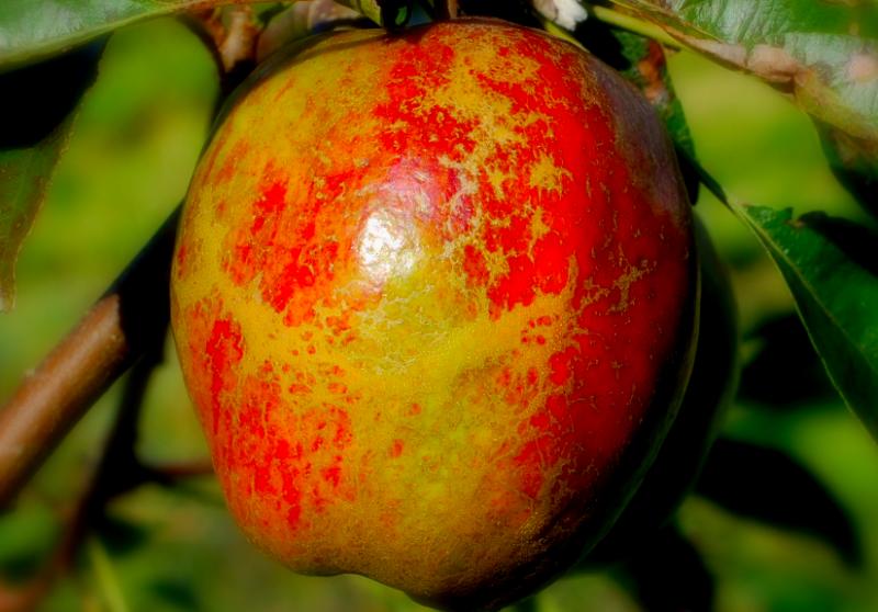 Cornish Aromatic Heirloom Apples
