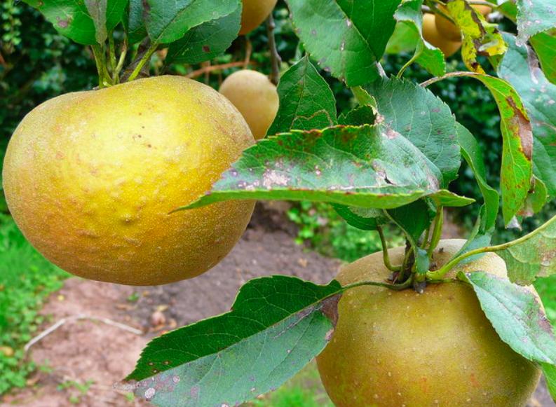 Egremont Russet heirloom apples