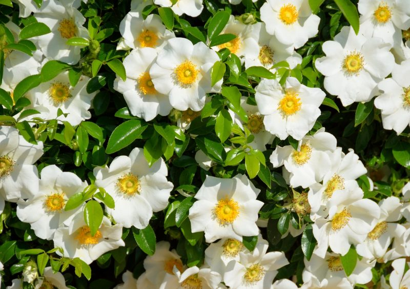 Gardenias are incredibly fragrant flowers