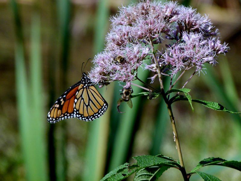 Joe Pye weed is one of the best butterfly garden plants