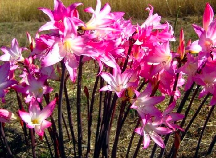 Amaryllis multiflora