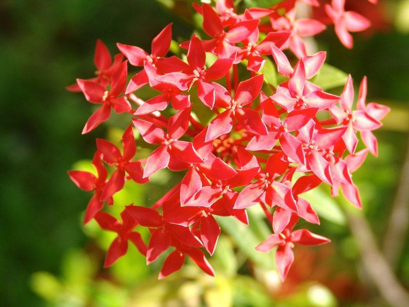 Pentas butterfly garden plants