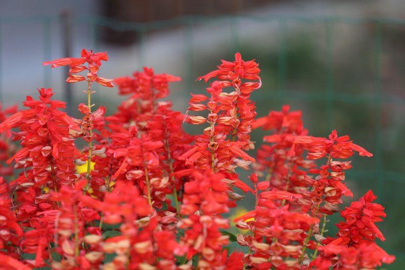 """Salvia plant elegans, aka """"pineapple sage"""""""