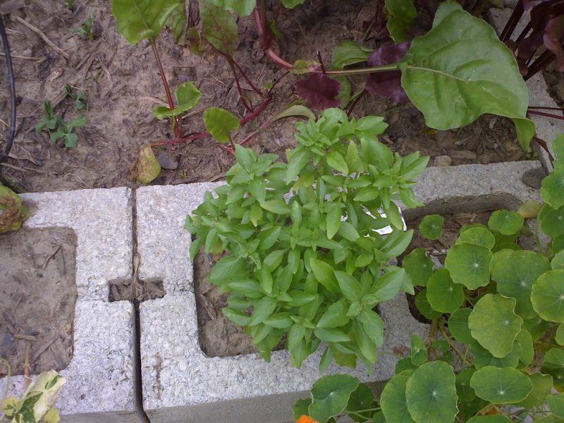 Summerlong basil plants