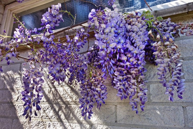 Wisteria poisonous flowers