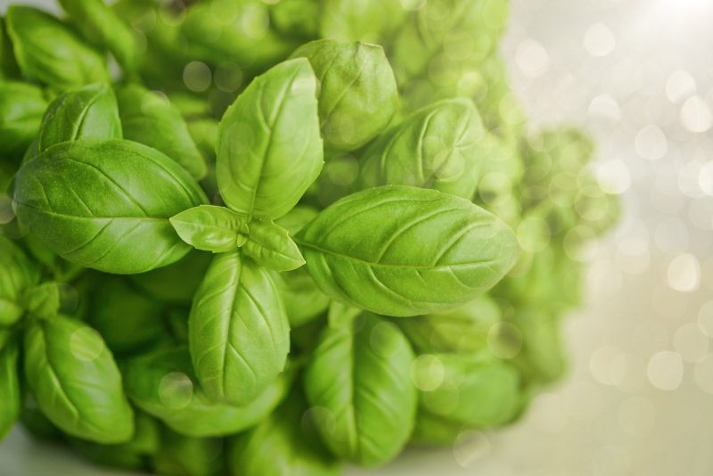 How to care for basil plants
