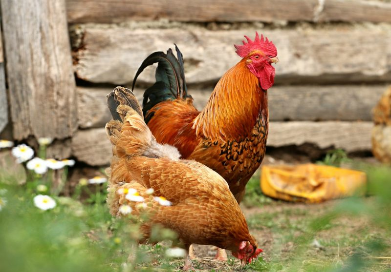 Homemade chicken feed for sustainable poultry
