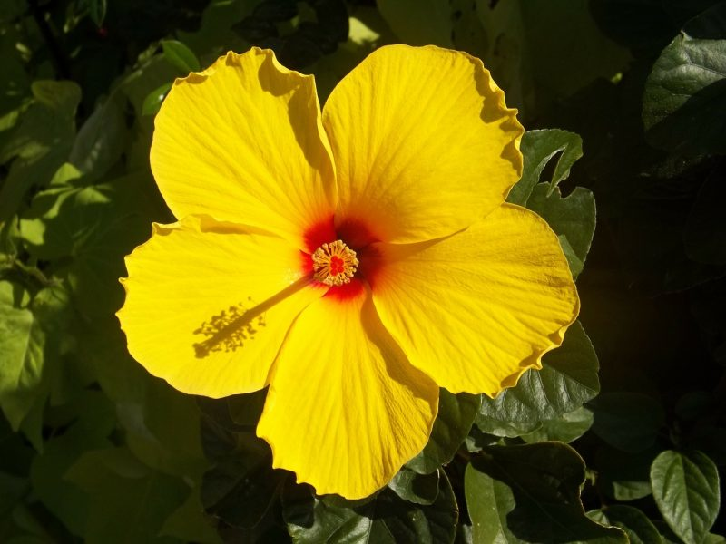 Hibiscus is one of the best flowers for full sun