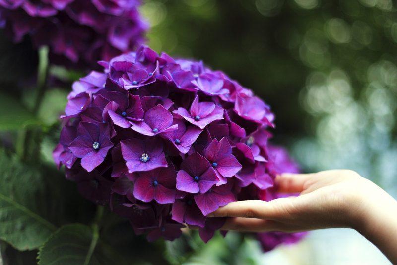 Hydrangea poisonous flowers