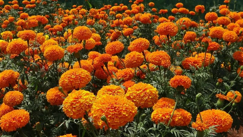 Marigolds are some of the best flowers for full sun