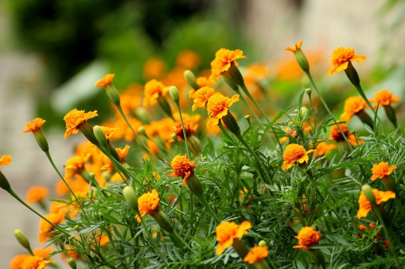 Cultivating marigold seeds