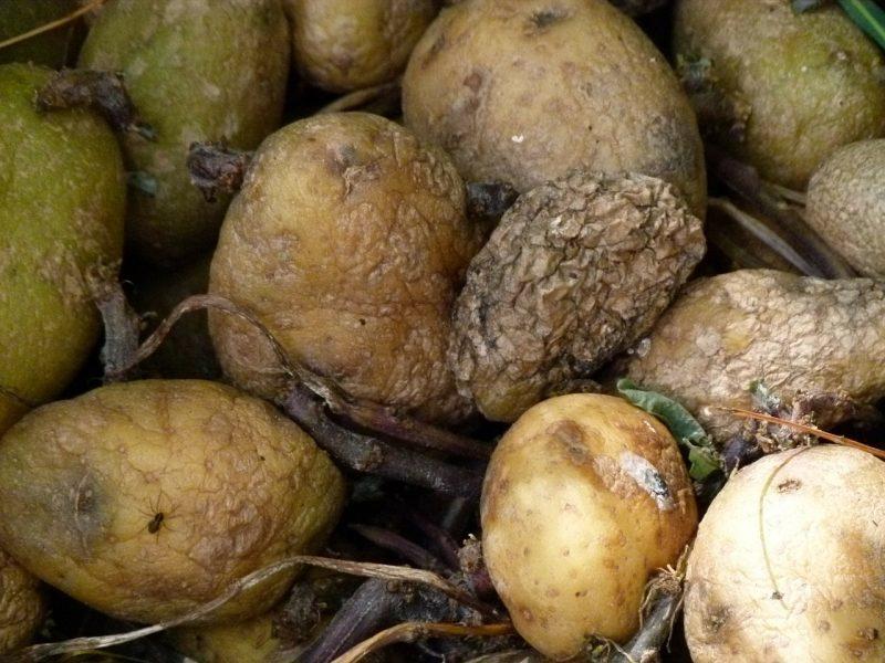 Mildew in edible plants