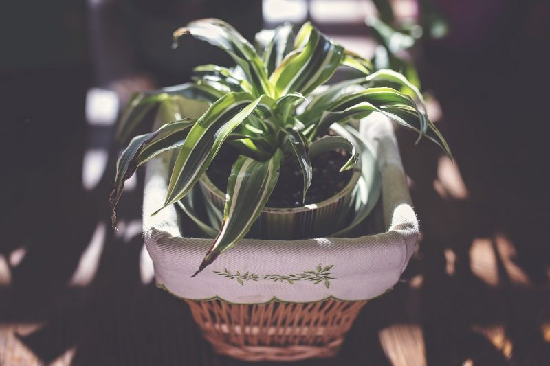 Low light houseplants for home or office