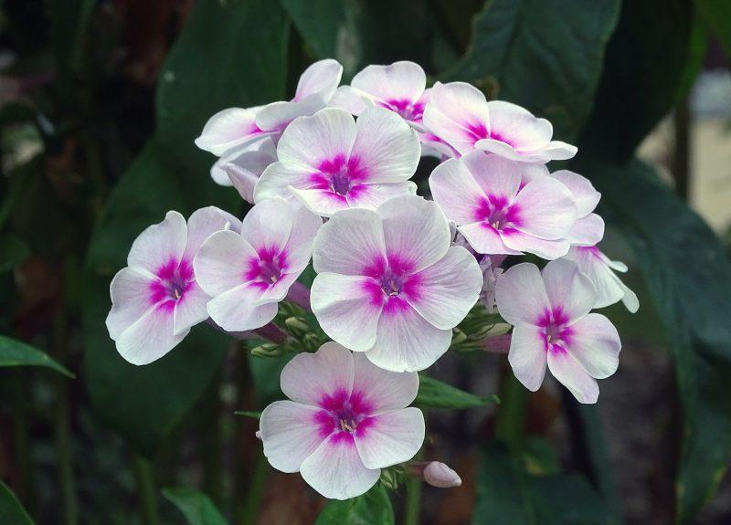 Phlox are great butterfly garden plants