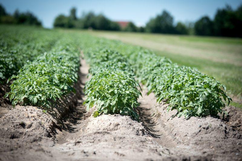 Growing potato plants