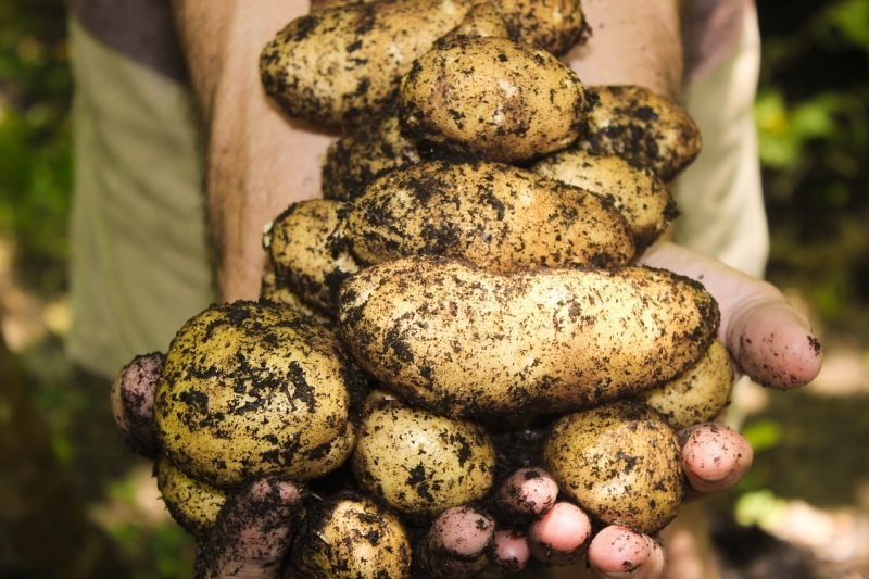 Grow your own potato garden