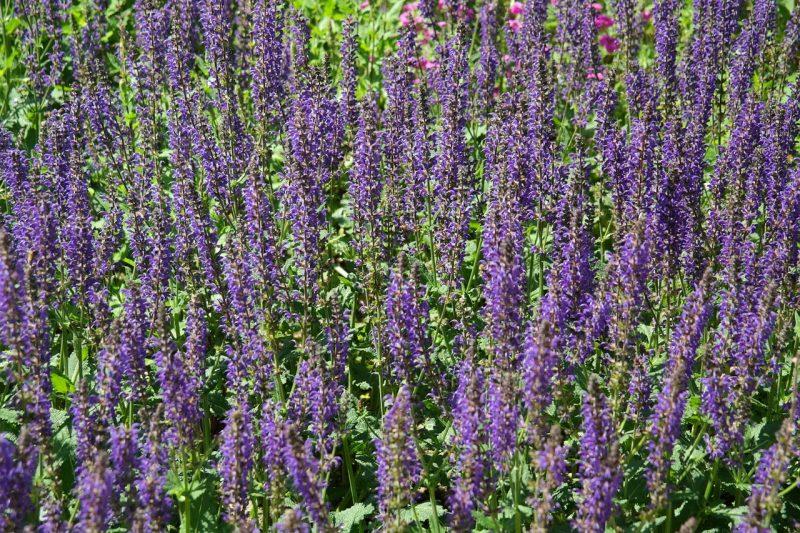 Purple salvia plant