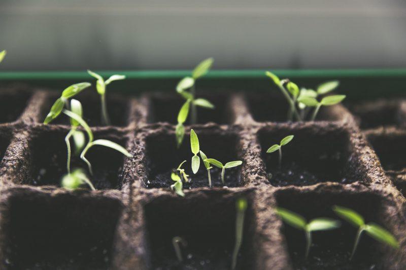 Hanging tomatoes seedlings