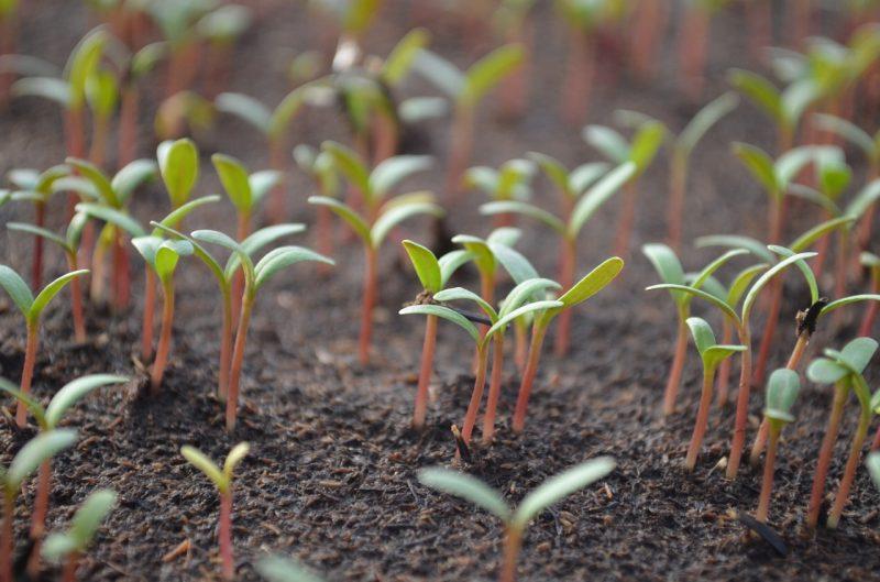 Tomatillos seedlings