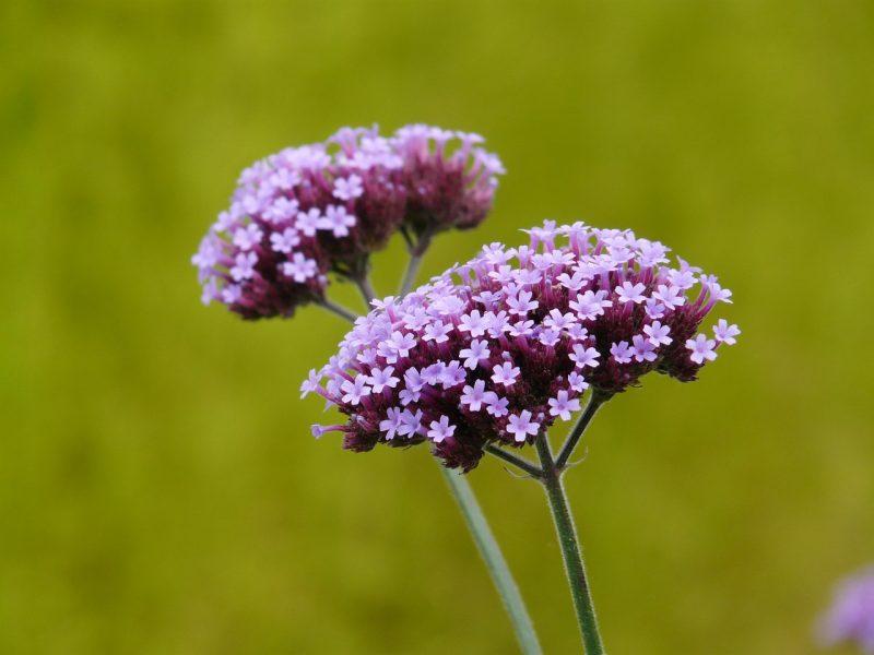 Verbena flowers for full sun